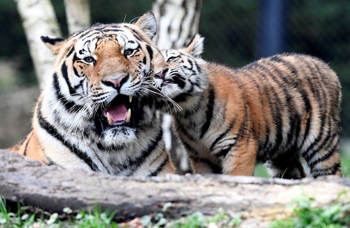 Тигри в гамбурзькому зоопарку / REUTERS