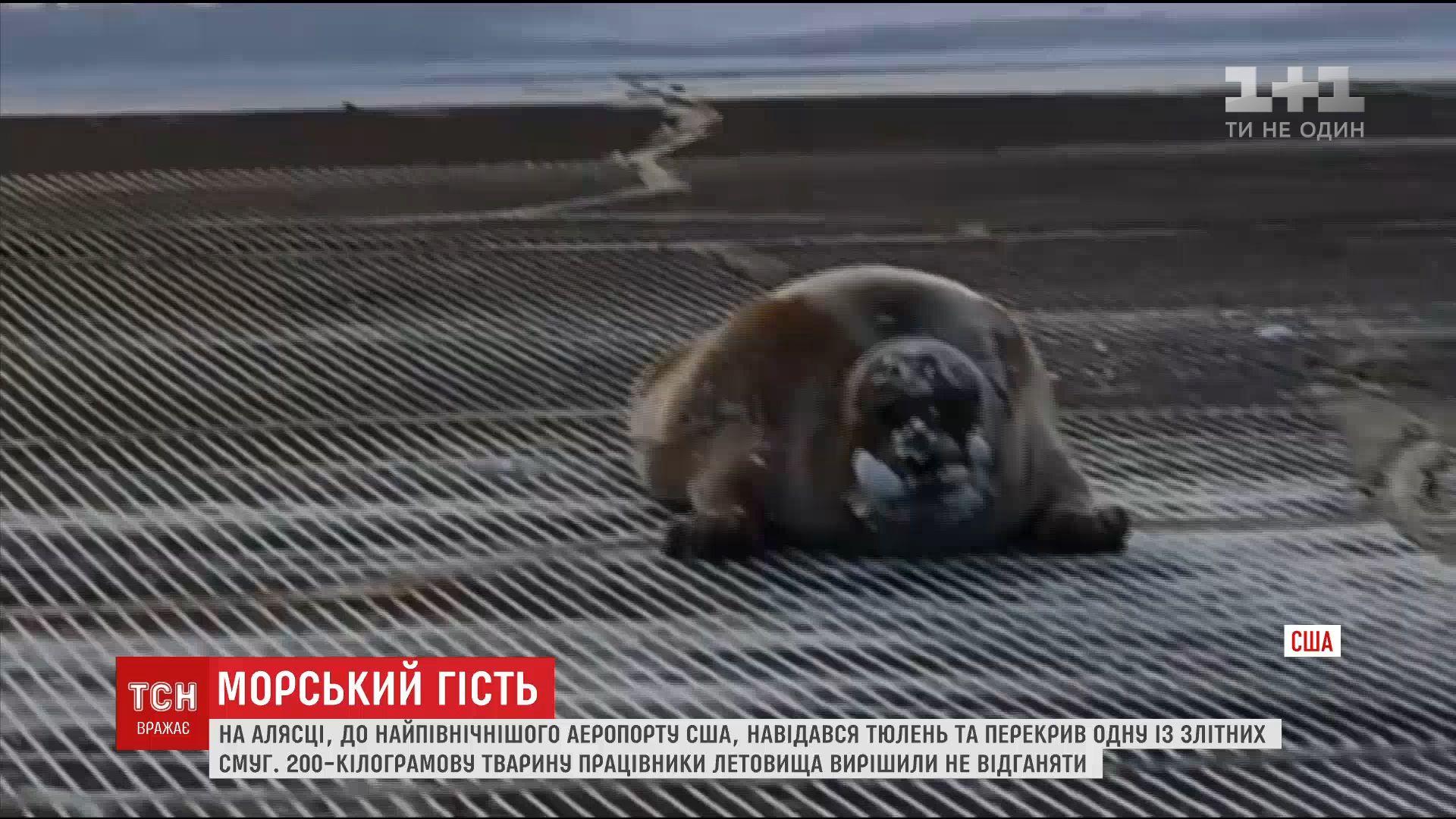 Тюлень отдыхал на взлетной полосе / скриншот