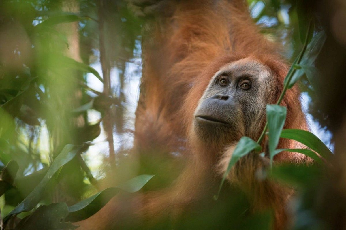 Виявлено новий вид великих людиноподібних мавп