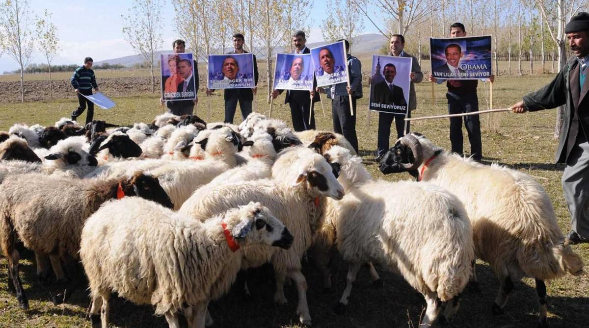 Овцы узнали на фотографии Барака Обаму / фото naked-science.ru