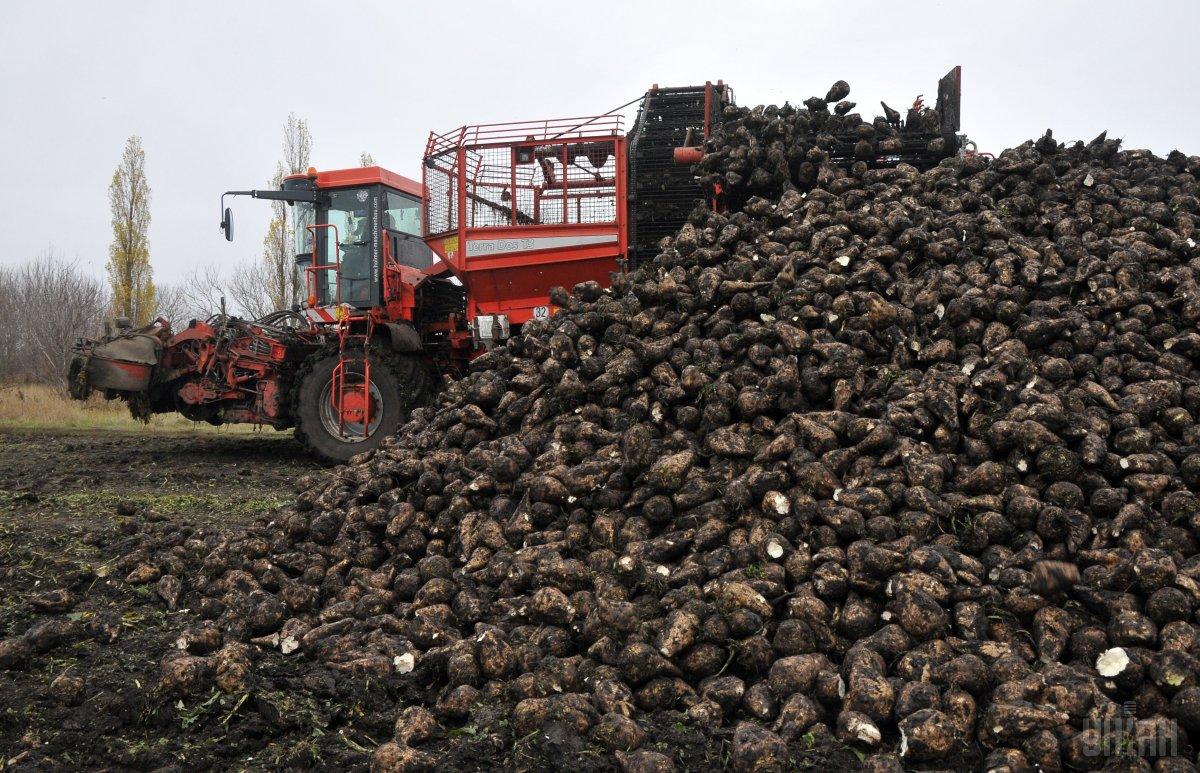 Україна вже переробила майже 9 мільйонів тонн цукрових буряків / фото УНІАН