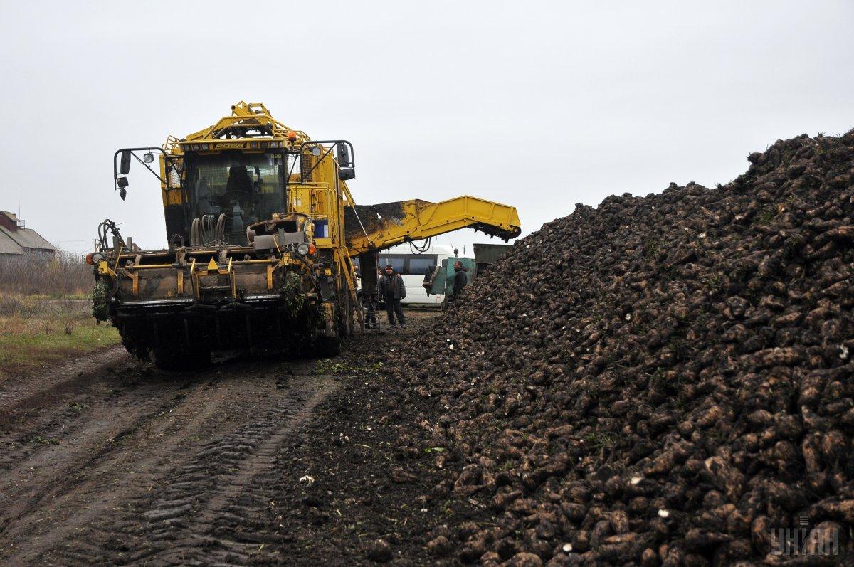 Урожай становить майже 458 тонн буряків з гектара / фото УНІАН