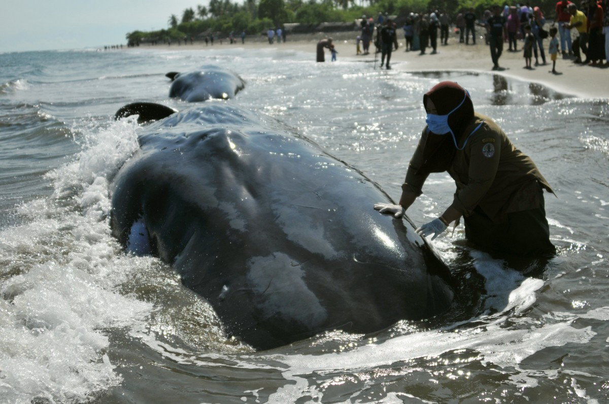 В Индонезии волонтеры спасли гигантских кашалотов, которых выбросило на сушу