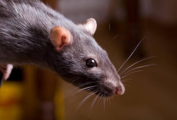 Штамм гепатита Е перескочил с крыс на людей / фото nashzeleniymir.ru