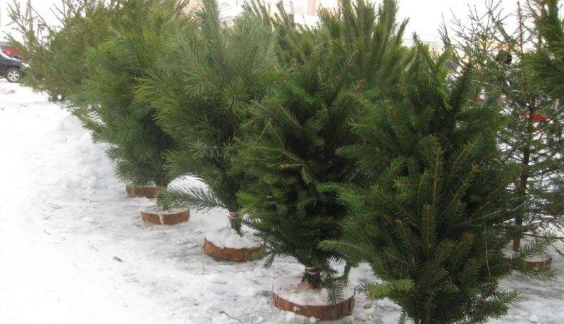 В Житомирськый области пункты реализации елок образуют в специально определенных местах / фото ЖОДА