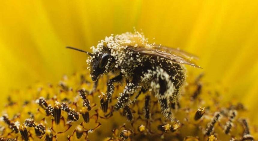 Бджоли перестають дзижчати через пестициди - вчені