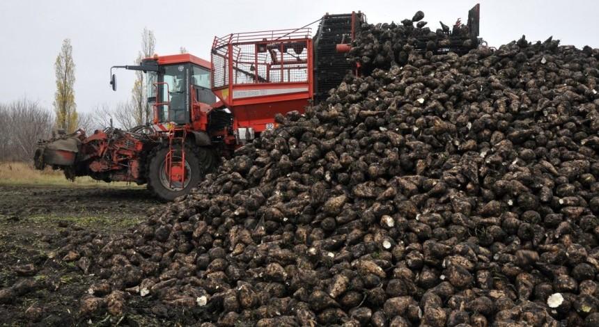 В Украине выросло производство сахарной свеклы