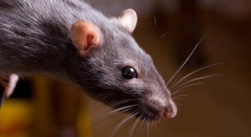 Крыса вызвала панику в вагоне нью-йоркского метро (видео)