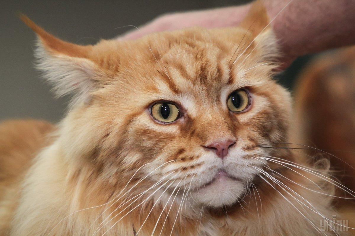 Пухнастий рекордсмен. УДніпрі зареєстрували найбільшого вУкраїні кота