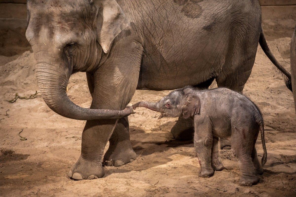 Новорожденный слоненок из бельгийского зоопарка / фото REUTERS