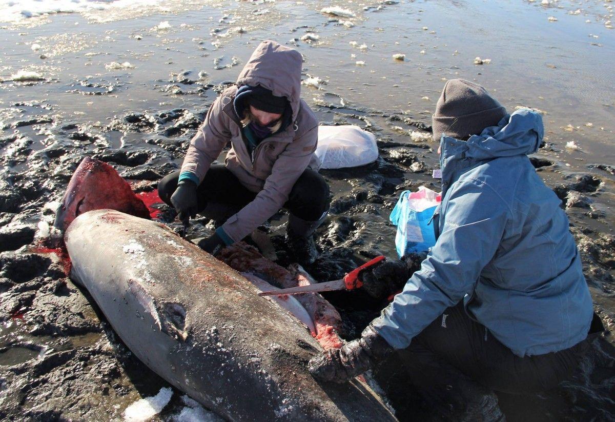 Обе они оказались самцами / фото facebook.com/atlanticwhiteshark