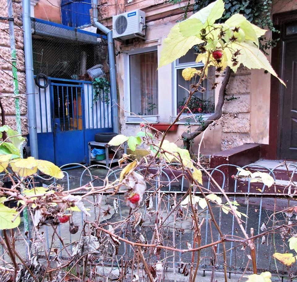 В Одессе неожиданно для всех созрела малина / фото moldavanka.info