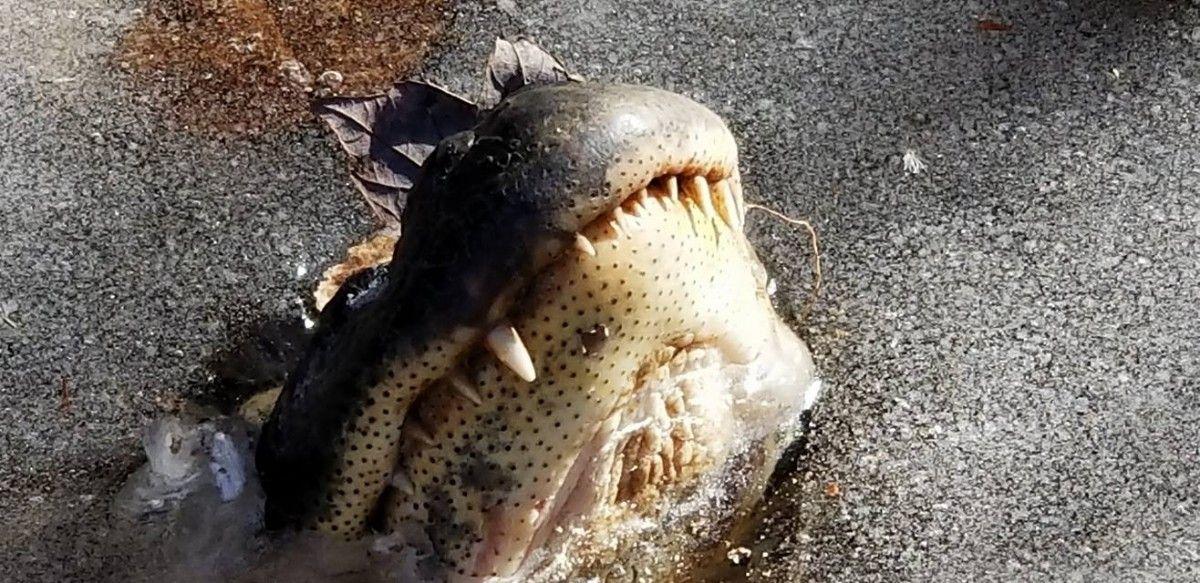 В Северной Каролине в лед вмерзли аллигаторы / www.facebook.com/shallotteriverswamppark/