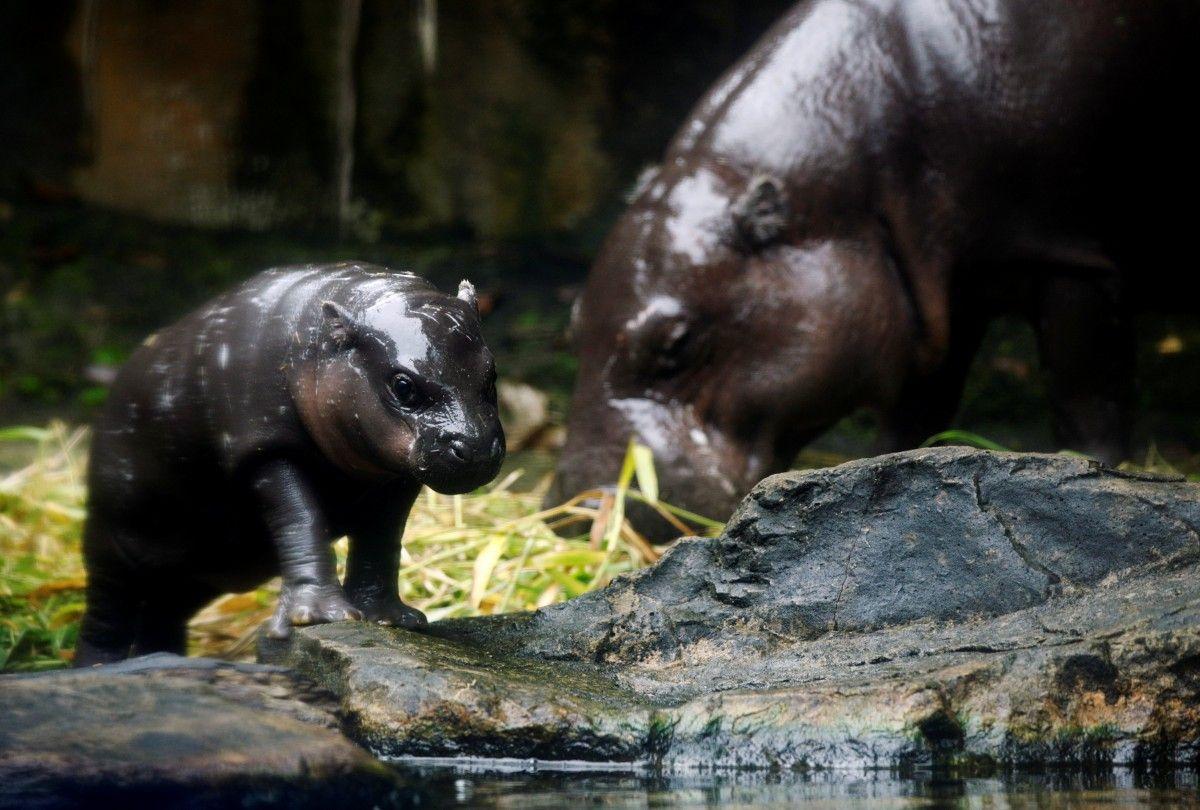 Новорожденный карликовый бегемот с мамой / фото REUTERS
