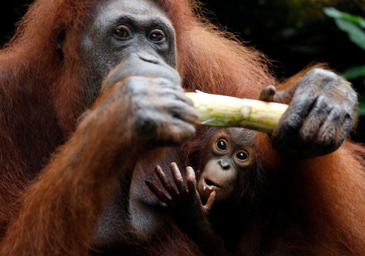 Очередной успех в разведении орангутангов / фото REUTERS