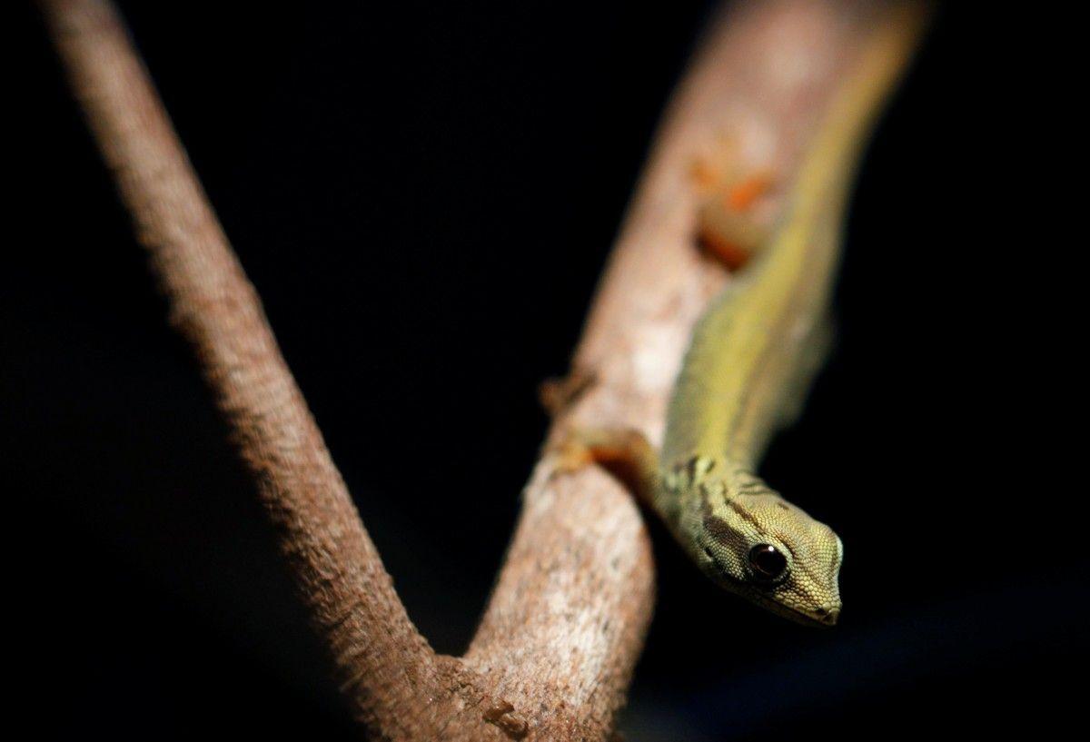 Карликовые гекконы Вильямса находятся на грани исчезновения / фото REUTERS