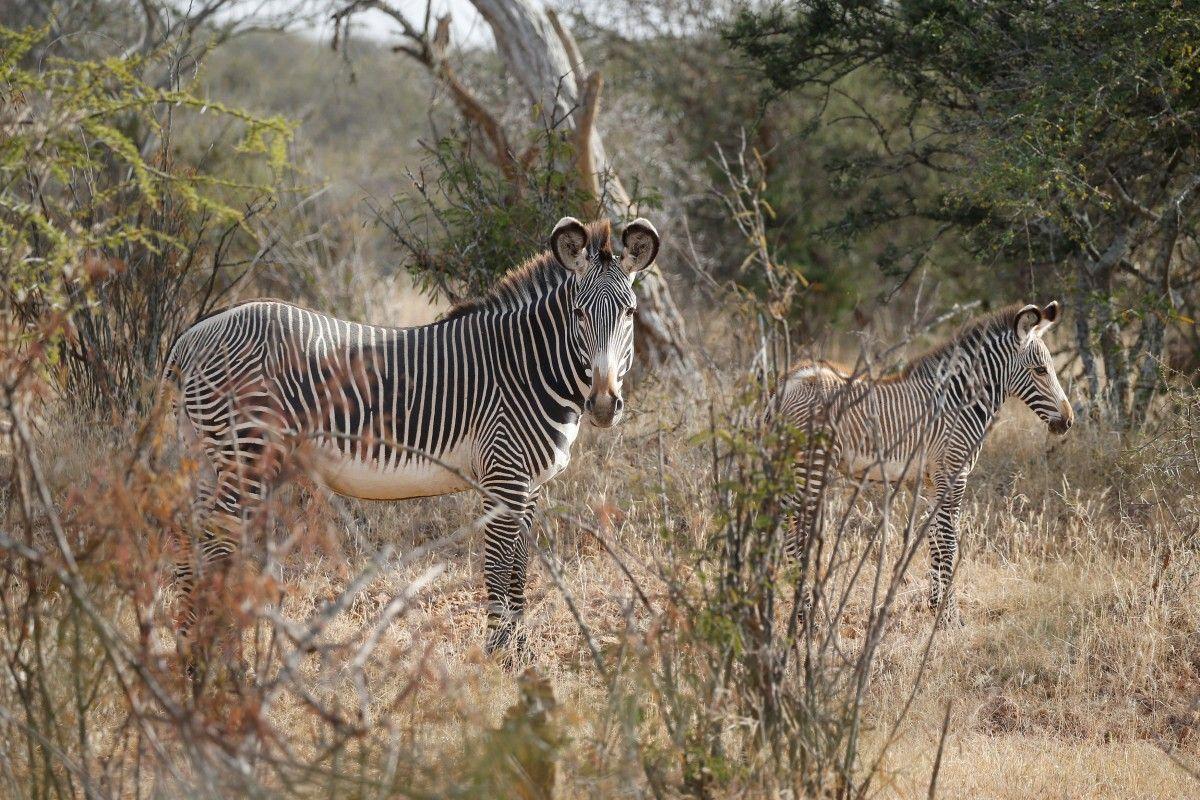Зебры Греви, находящиеся на грани вымирания, в исследовательском центре Мпала, Кения, 8 января / Baz Ratner / REUTERS