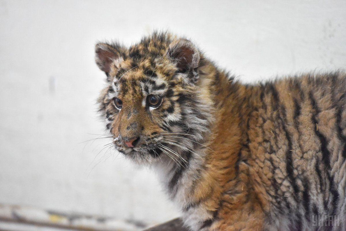 Шерхан уже показує тигровий характер / Фото УНІАН