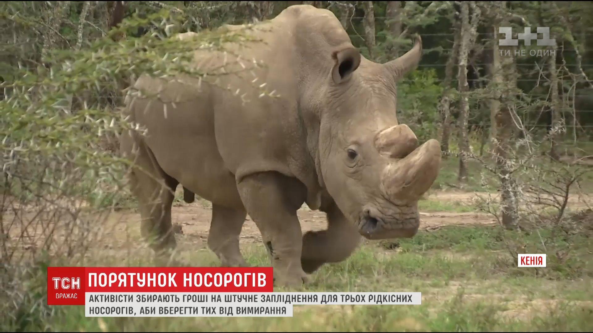 Зоологи планують врятувати ріщдкісний вид нлосорогів за допомогою процедури штучного запліднення / кадр з відео ТСН