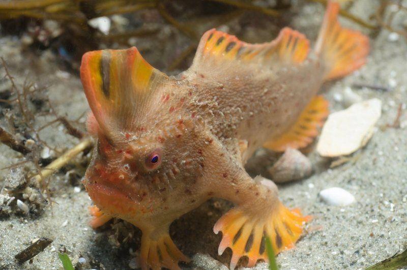 Красная рыба-лопата принадлежит к семейству брахионихтиевых рыб / фото ANTONIA COOPER / atlasobscura.com