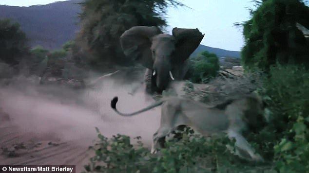 Сміливу слониху звуть Наблус, їй 17 років / фото Matt Brierley