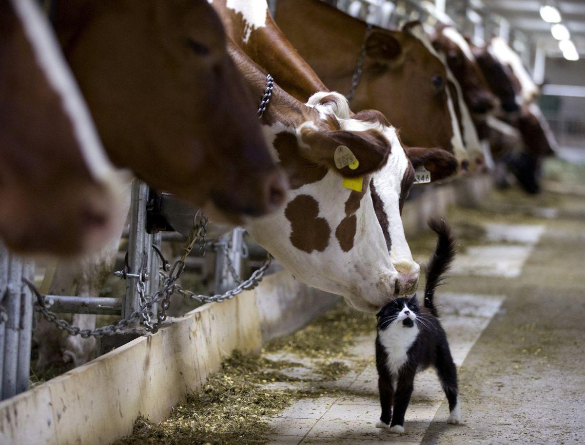 Хозяйства населения сократили производство молока на 6,2% / ИллюстрацияREUTERS