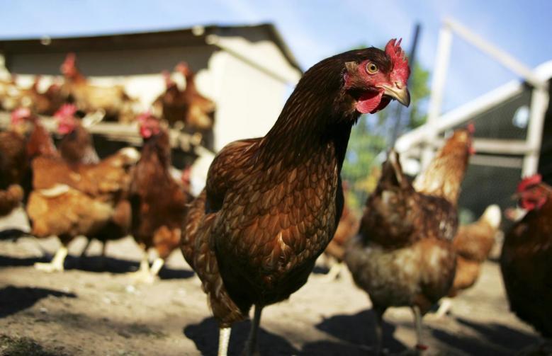 Україна оновила абсолютний рекорд з експорту курятини / REUTERS