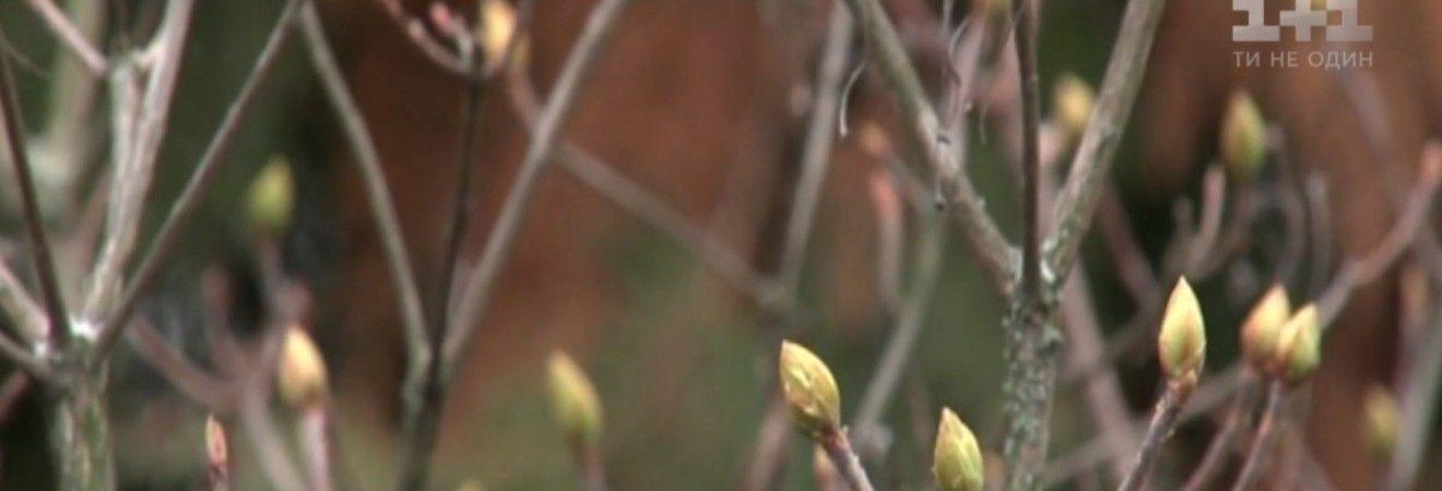 Через аномально теплу зиму в ботанічному саду Харкова готуються зацвісти магнолія і бузок (відео)