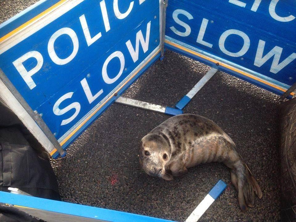 Полиция оградила испуганного тюлененка от зевак / фото facebook.com/thenewarc.org