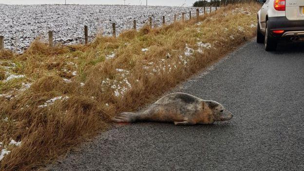 Тюлененок ополз от моря примерно на километр / фото SJOUKJE TERPSTRA / bbc.com