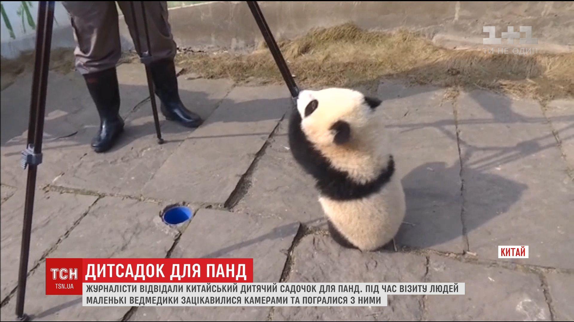 Китайским журналистам разрешили посетить детский сад для панд / кадр из видео ТСН