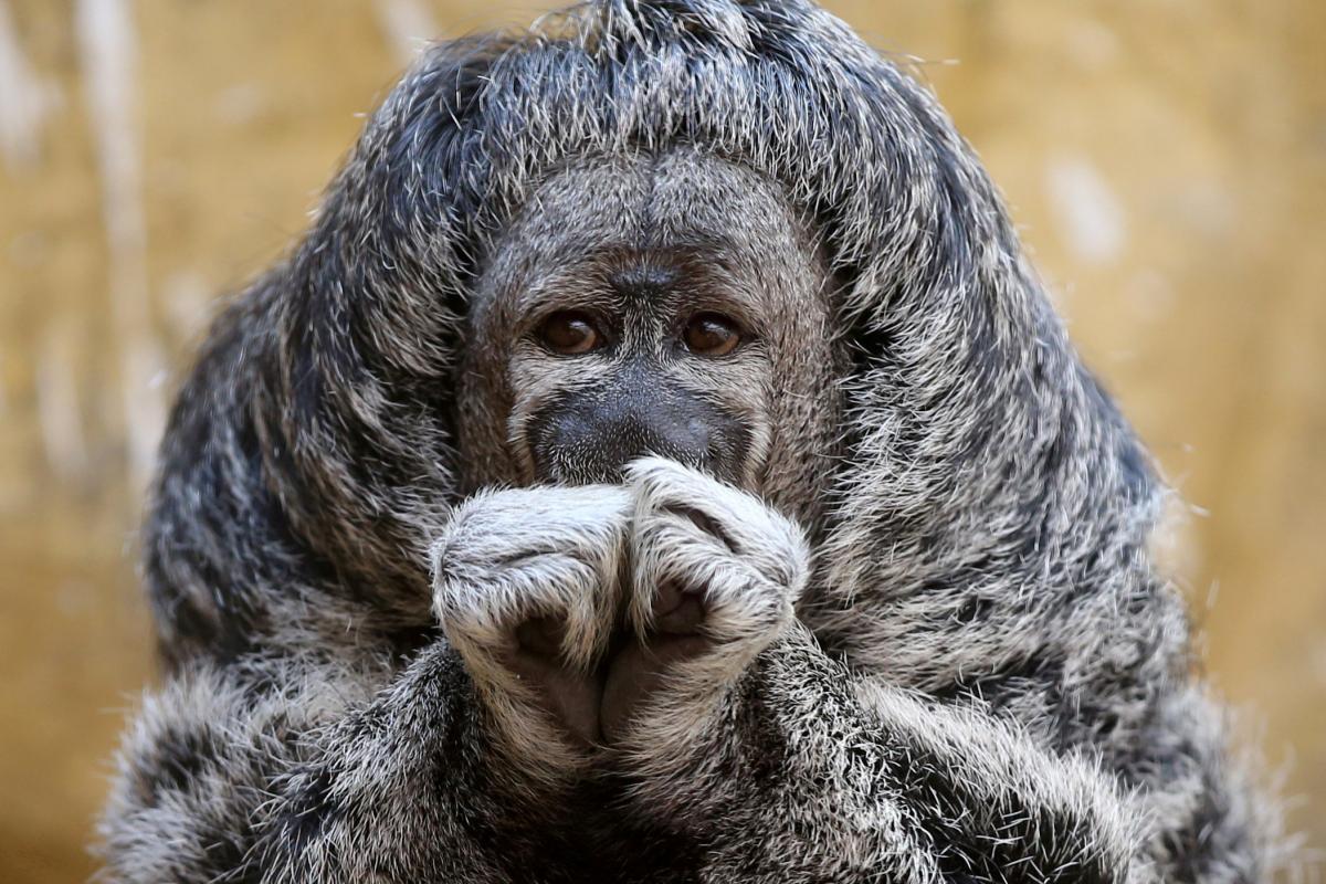 Обезьянка из зоопарка в Перу