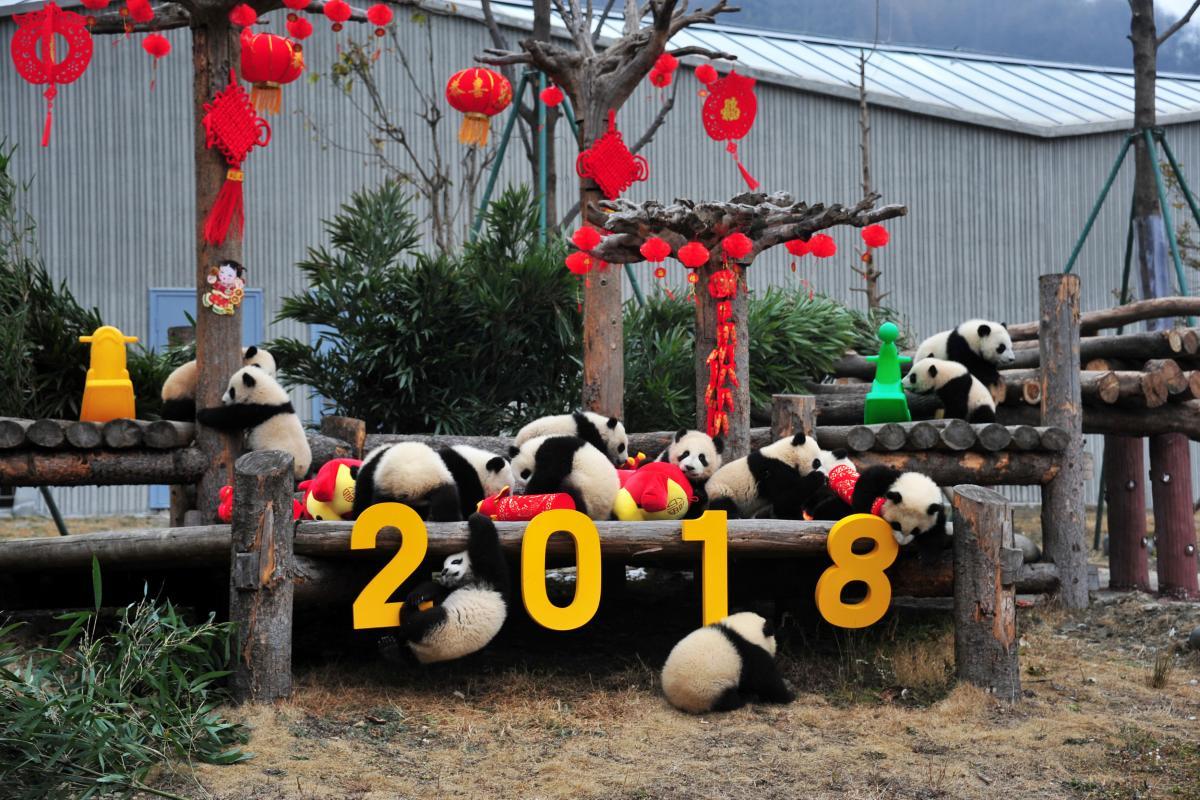 Пандочки тоже празднуют китайский новый год / REUTERS/Stringer