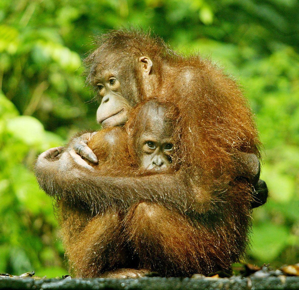 Орангутаны на Борнео / REUTERS