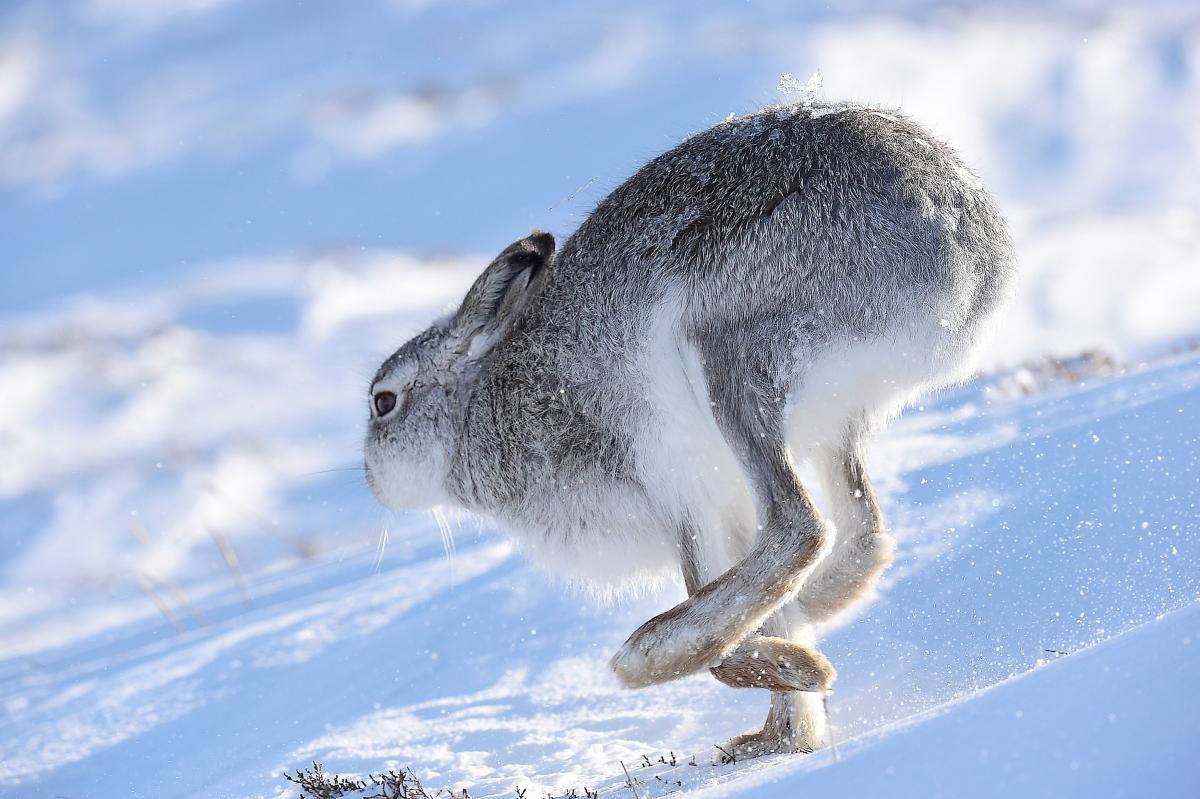 Дикий заяц на заснеженных полях Шотландии