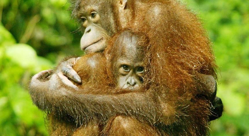За 16 років на острові Борнео зникли майже 150 тисяч орангутанів, і це не кінець