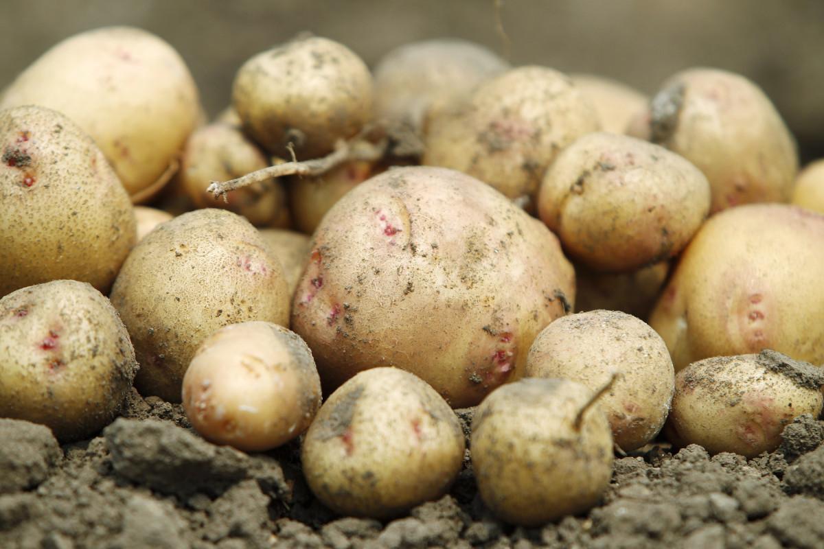 Україна хоче заборонити імпорт російської картоплі / REUTERS