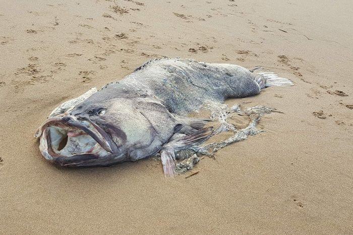 Жуткое зрелище: Напляже Австралии нашли рыбу-монстра