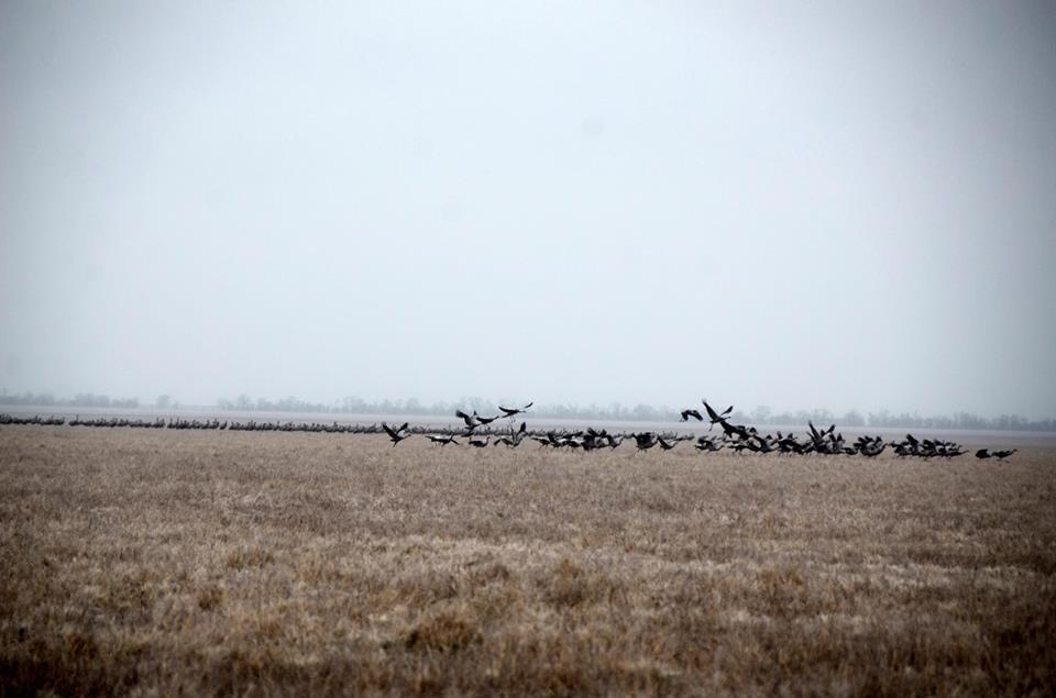 На Херсонщині через аномальні морози застрягли 14 тисяч мігруючих сірих журавлів / фото facebook.com/BirdLifeUA