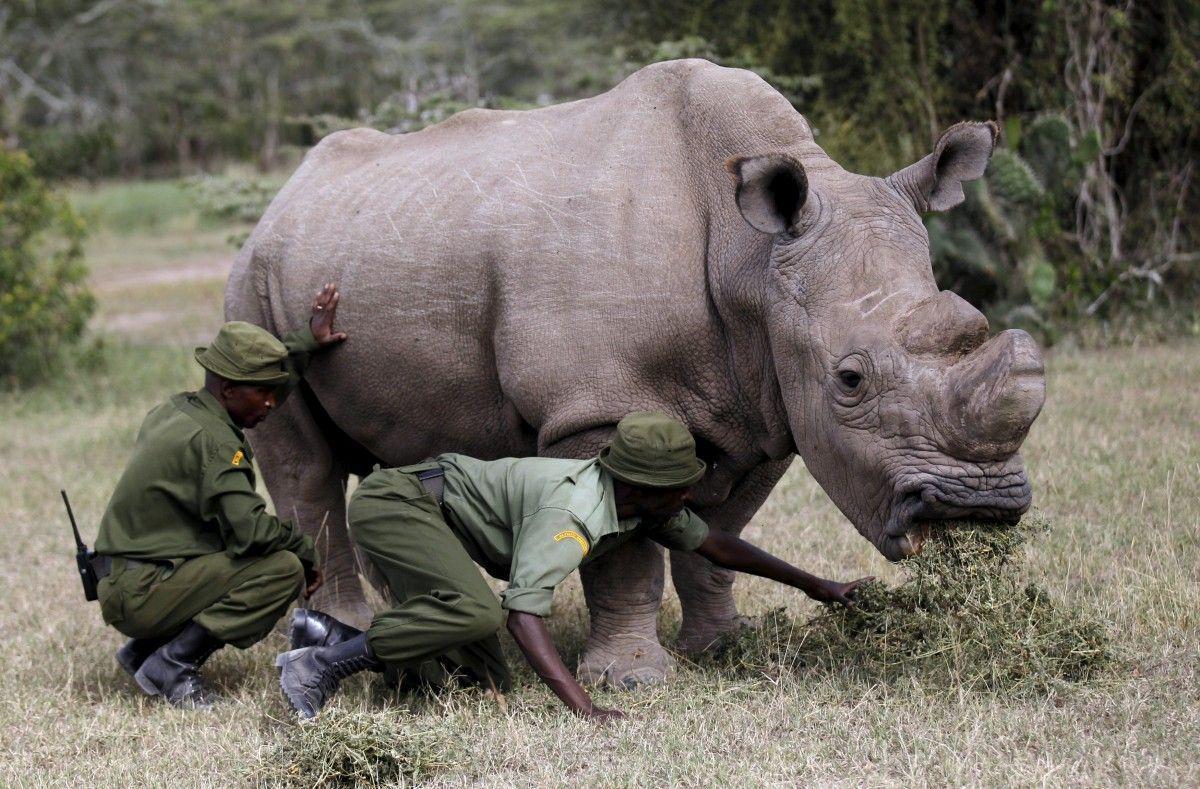 Помер останній у світі самець білого носорога