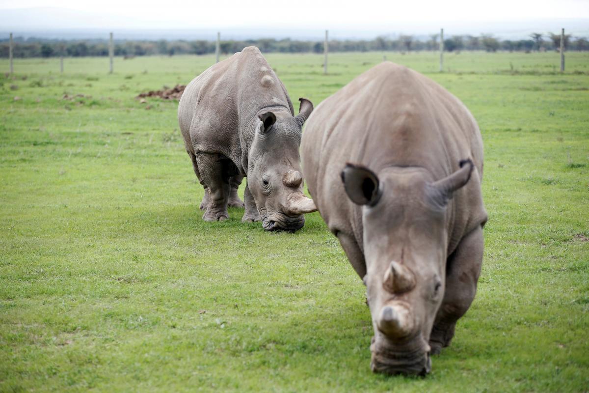 В дикой природе осталось около 18 тысяч особей белых носорогов / фото REUTERS