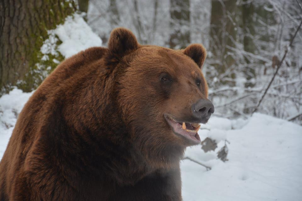 На Аляске убитый медведь чуть не убил охотника / facebook.com/BearSanctuaryDomazhyr