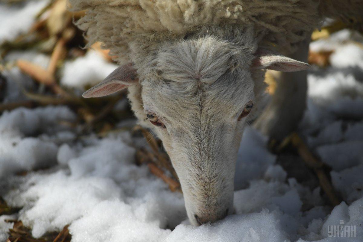 В РФ пастух задавил чужого барана конем и пустил его на шашлык / фото УНИАН