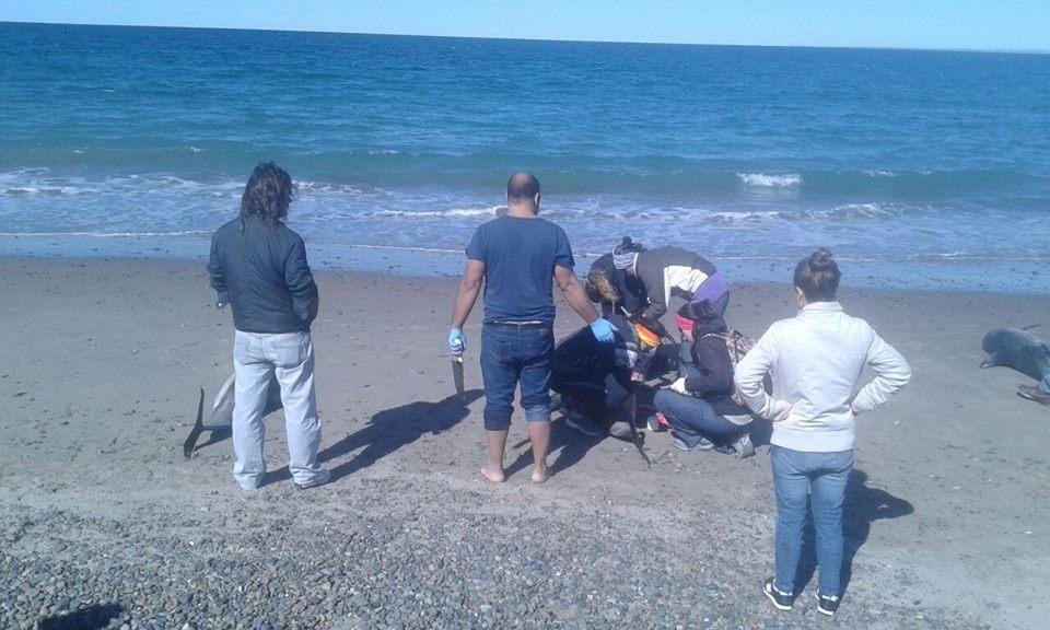 В Аргентині на берег викинулося 68 дельфінів
