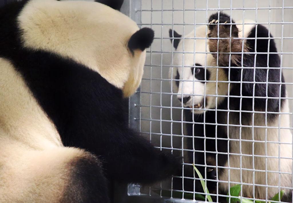 панды могут общаться через решетку, привыкая к запаху друг друга / ODR