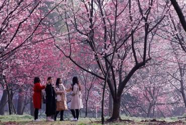 На сході Китаю розпочався сезон цвітіння вишні (фото, відео)