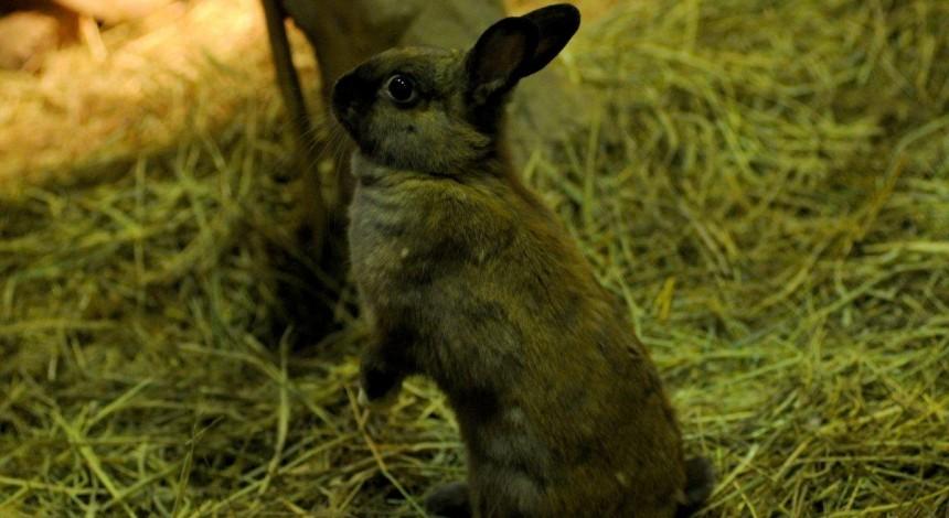Когда день не задался: кролик убежал от кота, но тут же попался в лапы совы (видео)