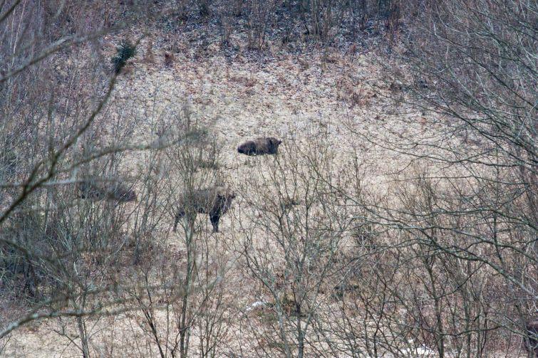 Зимой зубры спускаются в урочище Мальмансталь на подкормку / http://life.pravda.com.ua