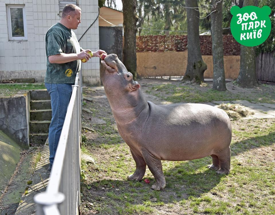 Бегемотиха Лілі у київському зоопарку / фото facebook.com/zoo.kiev.ua