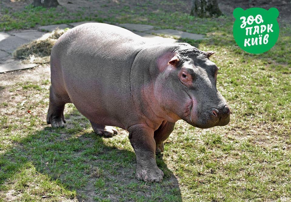 У київському зоопарку показали бегемотиху / фото facebook.com/zoo.kiev.ua